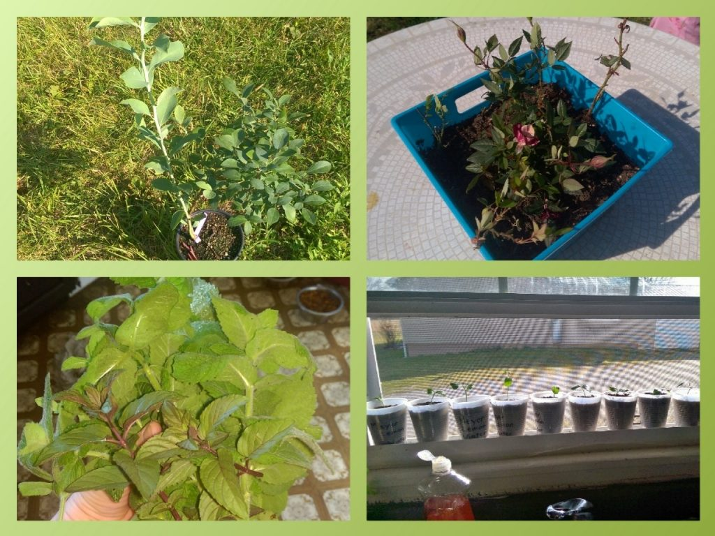 Blueberry Bush, Roses, Mint, Lemon Trees